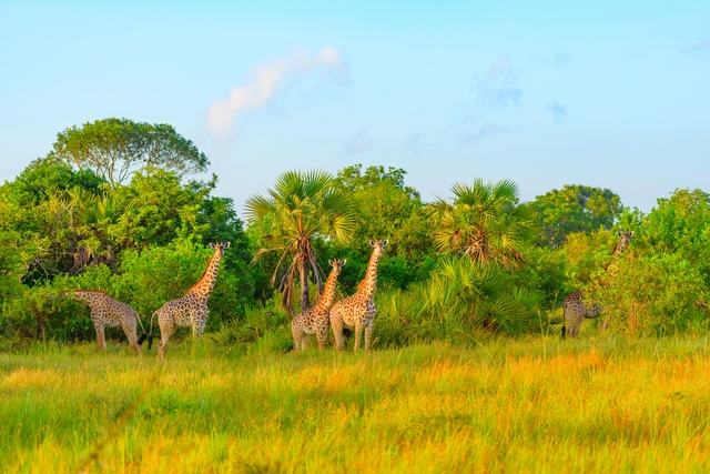 Giraffes in Safari park in Tanzania